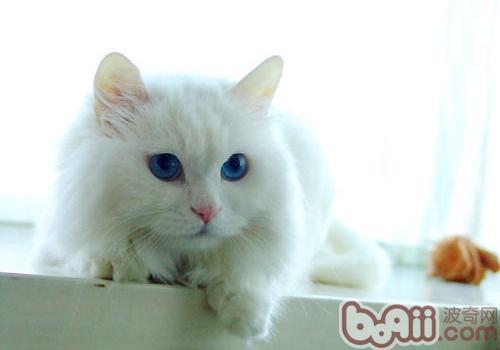 山东狮子猫的形态特征