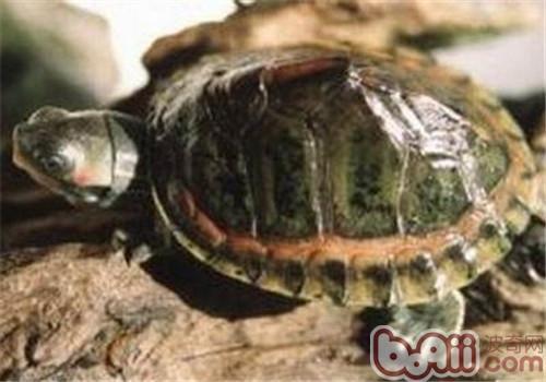 粉红圈锯背龟的外形特征