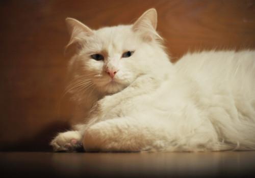 山东狮子猫的喂食要求