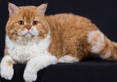 猫咪品种_猫咪种类大全-页4-波奇网百科大全