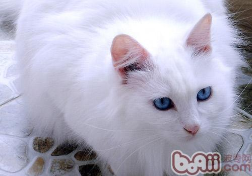 山东狮子猫         山东狮子猫的性格恬静可爱,温顺宜人,对人类