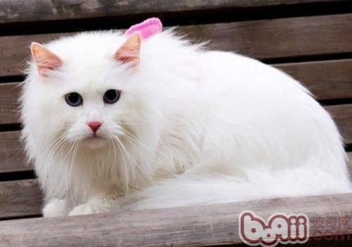 山东狮子猫的品种介绍