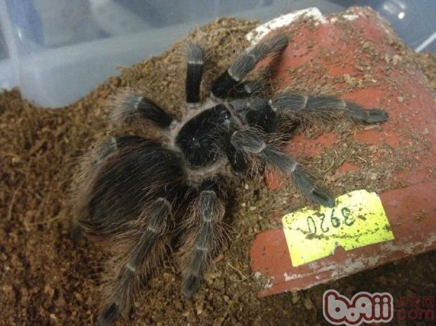 巴西红毛蜘蛛的饲养要点
