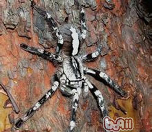 彼得逊华丽雨林蜘蛛的饲养环境