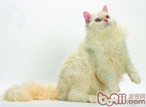 塞尔凯克卷毛猫的性格特点