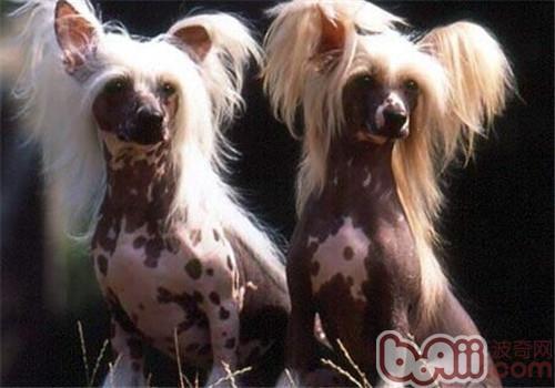 中国冠毛犬的性格特点