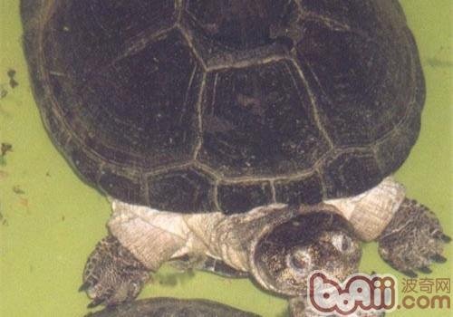 非洲棱背泥龟的养护要点