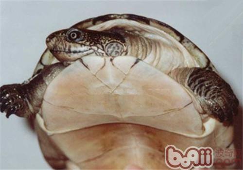 非洲棱背泥龟的食物选择