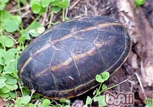果核泥龟的养护方法