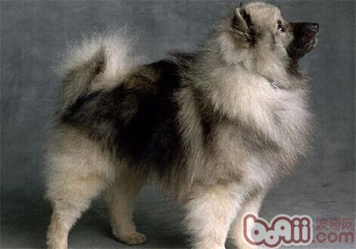 荷兰毛狮犬的品种简介