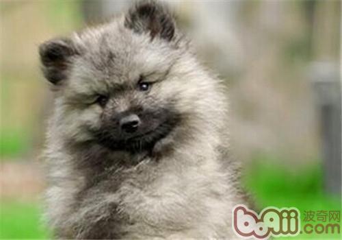 荷兰毛狮犬的形态特征
