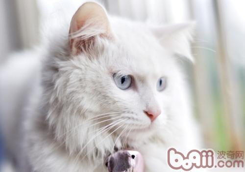 山东狮子猫的养护知识