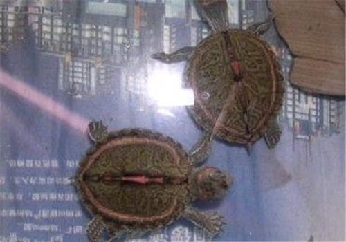 重点 粉红 养护/粉红圈锯背龟的养护重点