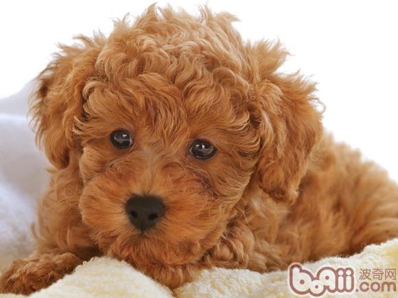 泰迪犬的形态特征