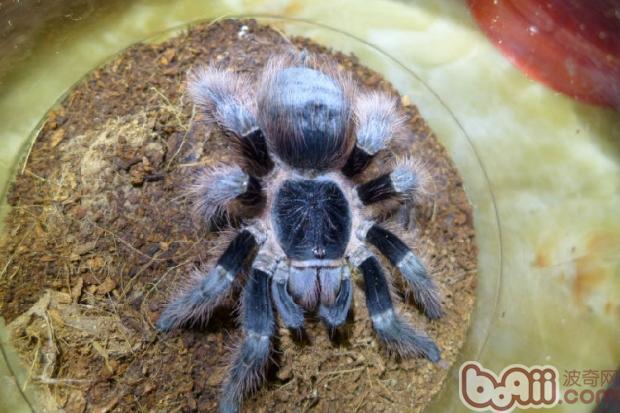 巴西红毛蜘蛛的喂食要点