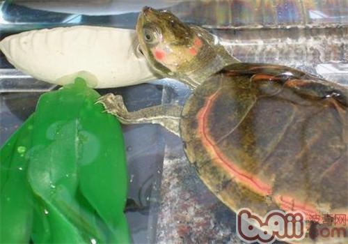 粉红圈锯背龟的品种简介