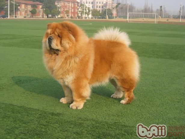 松狮犬的品种简介