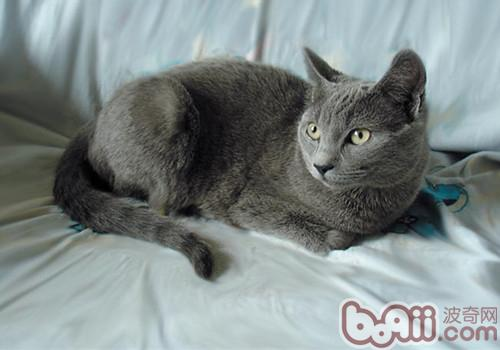 沙特尔猫的品种介绍