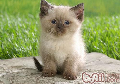 喜馬拉雅貓的養護知識