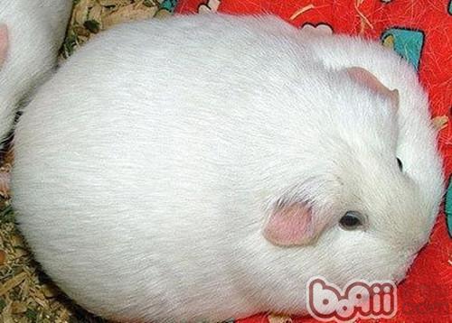 白色鳳冠天竺鼠的外形特點
