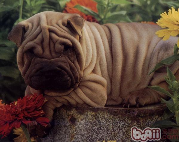 沙皮犬的品种简介