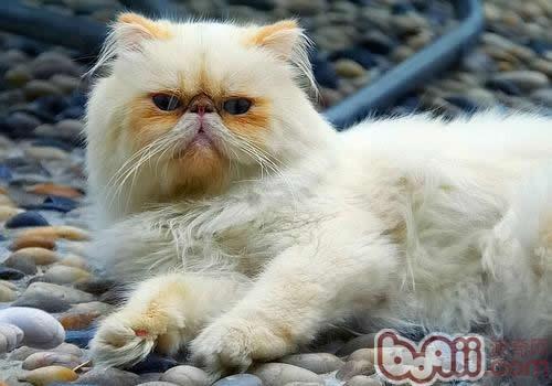 喜馬拉雅貓的喂食要求