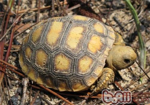 哥法地鼠龟的饲养环境建议