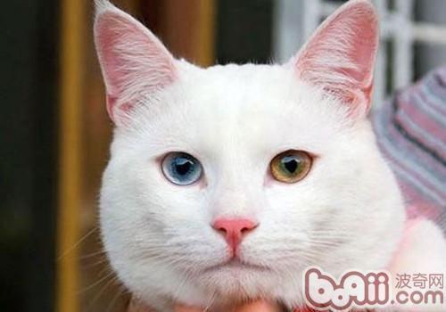土耳其梵猫