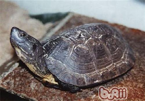哥伦比亚泥龟的生活环境及冬眠