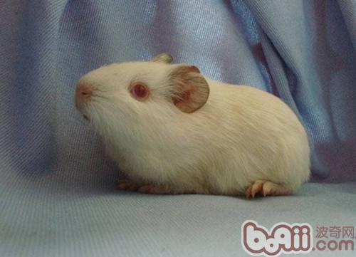 飼養白色鳳冠天竺鼠的墊料選擇