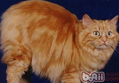 威尔士猫的形态特征