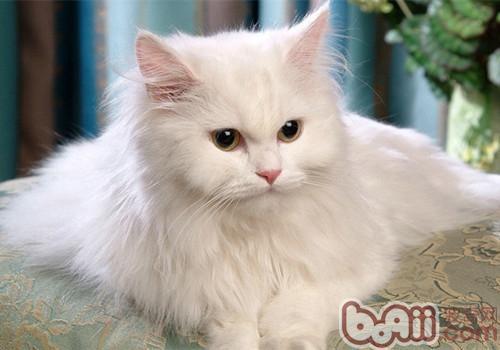 土耳其安哥拉猫的品种简介_土耳其安哥拉猫图片_土耳其安哥拉猫多少钱一只