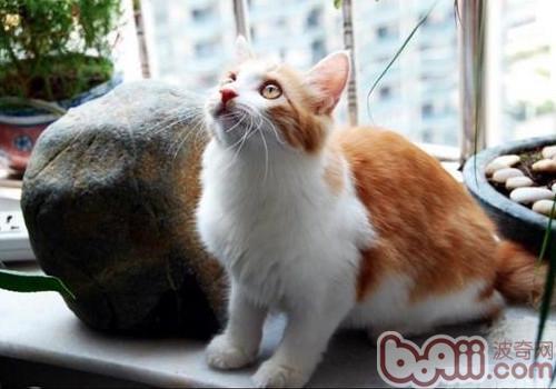 土耳其安哥拉猫,土耳其安哥拉猫价格