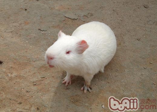 白色鳳冠天竺鼠的飼養要點