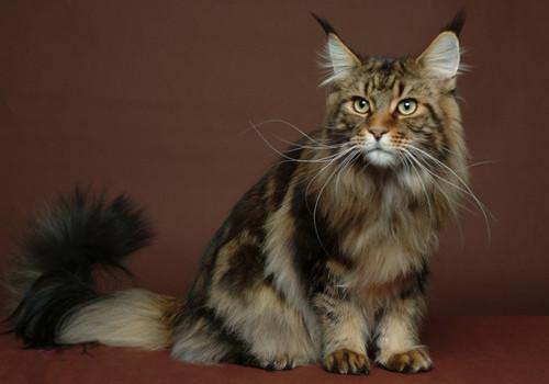 西伯利亚森林猫的性格特点