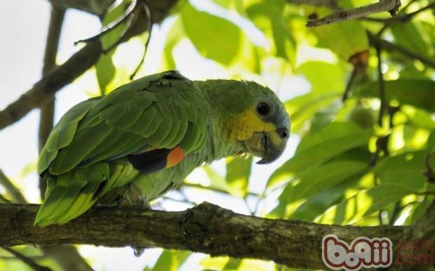 橙翅亚马逊鹦鹉的外形特点