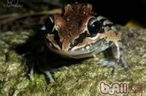 白吻长趾蛙的饲养要点
