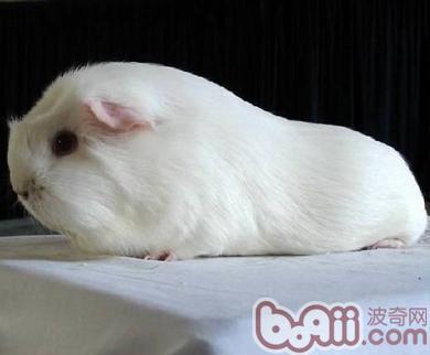 白色鳳冠天竺鼠的喂食要點