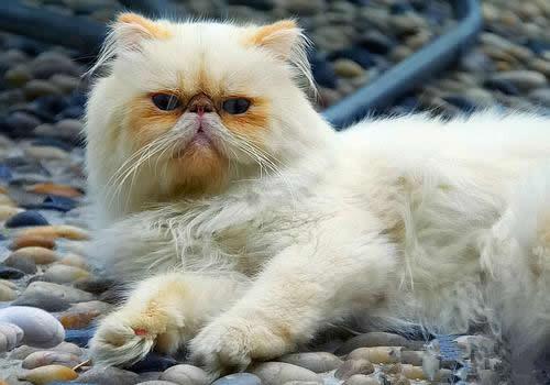 喜马拉雅猫的喂食要求
