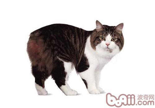 威尔士猫品种简介