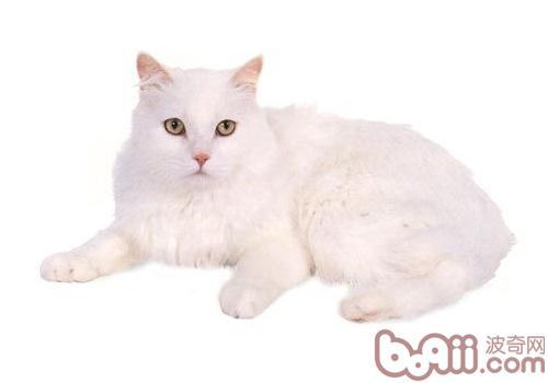 威尔士猫的养护知识