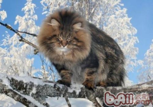 西伯利亚森林猫的养护知识