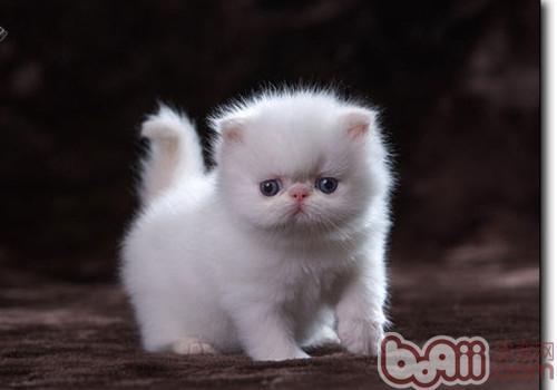 喜馬拉雅貓的品種簡介