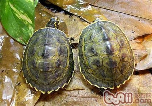 冠背龟的品种简介