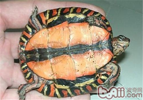 哥斯达黎加木纹龟的形态特征