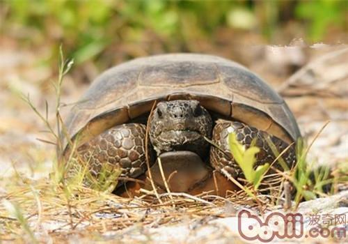 哥法地鼠龟的品种简介