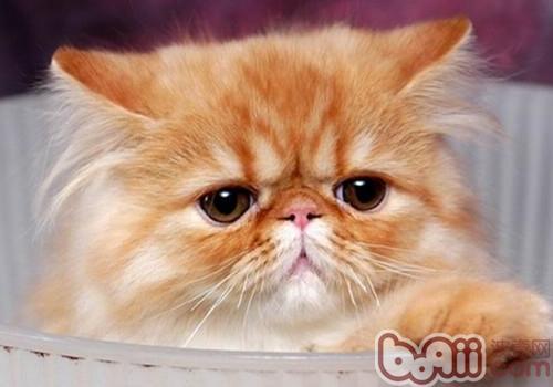 喜馬拉雅貓的形態特征