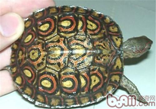 哥斯达黎加木纹龟,哥斯达黎加木纹龟价格
