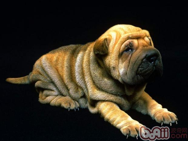 沙皮犬的形态特征