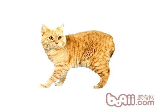 威尔士猫的性格特点如何